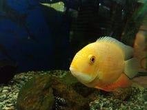 Желтые рыбы Стоковые Фотографии RF