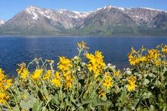 Желтые солнцецветы и покрытые снегом горы. стоковые изображения
