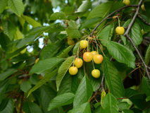 Желтые сладостные вишни зрея Стоковые Изображения RF
