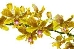 Желтые тайские орхидеи. (Это изображение содержит путь клиппирования) Стоковые Изображения