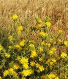 Желтые терновые цветки thistle Стоковое Изображение RF