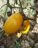 Желтые томаты вишни стоковые изображения rf