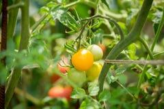Желтые томаты растя на саде Стоковое Изображение RF