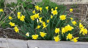 Желтые тюльпаны весны Стоковое Фото