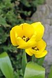 Желтые тюльпаны в саде, взгляд сверху с цветнем и тычинка внутри Стоковые Изображения