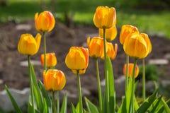 Желтые тюльпаны на flowerbed против детенышей весны цветка принципиальной схемы предпосылки белых желтых Стоковое Изображение