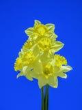 Желтые тюльпаны против голубого неба стоковые изображения