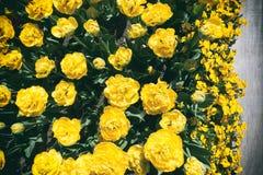 Желтые тюльпаны сверху стоковые фото