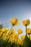 Желтые тюльпаны Стоковое фото RF