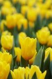 Желтые тюльпаны Стоковая Фотография