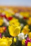 Желтые тюльпаны Стоковые Фото