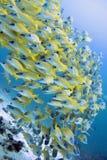 Желтые луцианы стоковая фотография