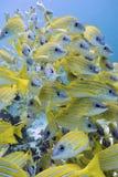 Желтые луцианы b стоковые изображения
