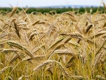 Желтые уши пшеницы Стоковые Фото