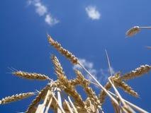 Желтые уши пшеницы Стоковое Изображение