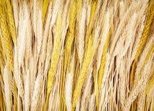 Желтые удары пшеницы, аграрная тема стоковое фото