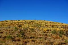 Желтые холмы Spinifex Стоковое Изображение RF