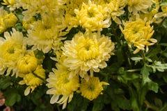 Желтые хризантемы в цветени Стоковое фото RF
