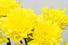 Желтые хризантемы Стоковое Изображение RF