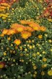 Желтые хризантемы Стоковое Фото