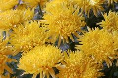 Желтые хризантемы Стоковая Фотография