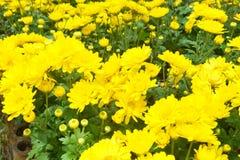 Желтые хризантемы Стоковые Фотографии RF