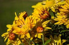 Желтые хризантемы стоковые изображения