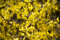 Желтые цветения весны Стоковые Изображения