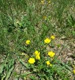 желтые цветеня Стоковые Фотографии RF