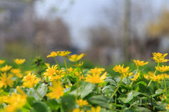 Желтые цветки весны Стоковая Фотография
