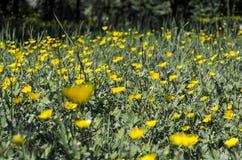Желтые цветки в конце зеленой травы вверх Стоковая Фотография RF