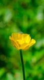 Желтые цветки в конце зеленой травы вверх Стоковое Фото