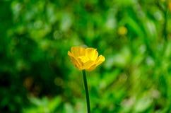 Желтые цветки в конце зеленой травы вверх Стоковое фото RF