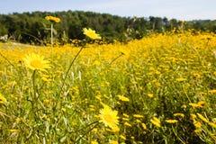 Желтые цветки в поле Стоковая Фотография