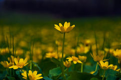 Желтые цветки в луге Стоковые Изображения RF