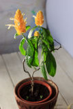 Желтые цветки золотой креветки засаживают Pachystachys Lutea - красивый домашний завод в баке Стоковые Фотографии RF