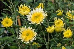 Желтые цветки и бутоны хризантемы Стоковые Фотографии RF