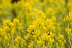 Желтые цветки и жук стоковое фото rf