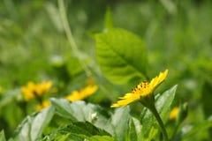 Желтые цветки и листья в саде Стоковые Фото