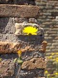 Желтые цветки и старый кирпич Стоковое фото RF