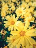 Желтые цветки маргаритки Стоковое фото RF