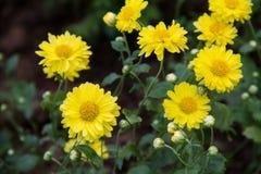 Желтые цветки маргаритки Стоковое Фото