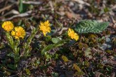Желтые цветки мать и мачеха Стоковые Изображения