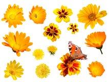 Желтые цветки на белой изолированной предпосылке Стоковые Фотографии RF