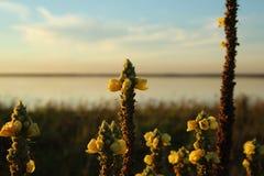 Желтые цветки на заходе солнца Стоковое фото RF