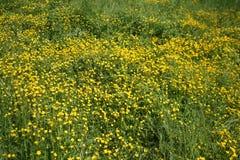 Желтые цветки на зеленом glade Стоковые Фото