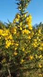 Желтые цветки на кусте Стоковое Изображение RF