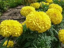 Желтые цветки ноготк закрывают вверх Стоковая Фотография RF