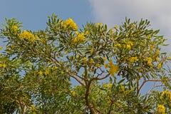 Желтые цветки огромного карибского дерева трубы, который выросли в Таиланде Стоковое Изображение