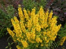 Желтые цветки позвонка стоковые фотографии rf